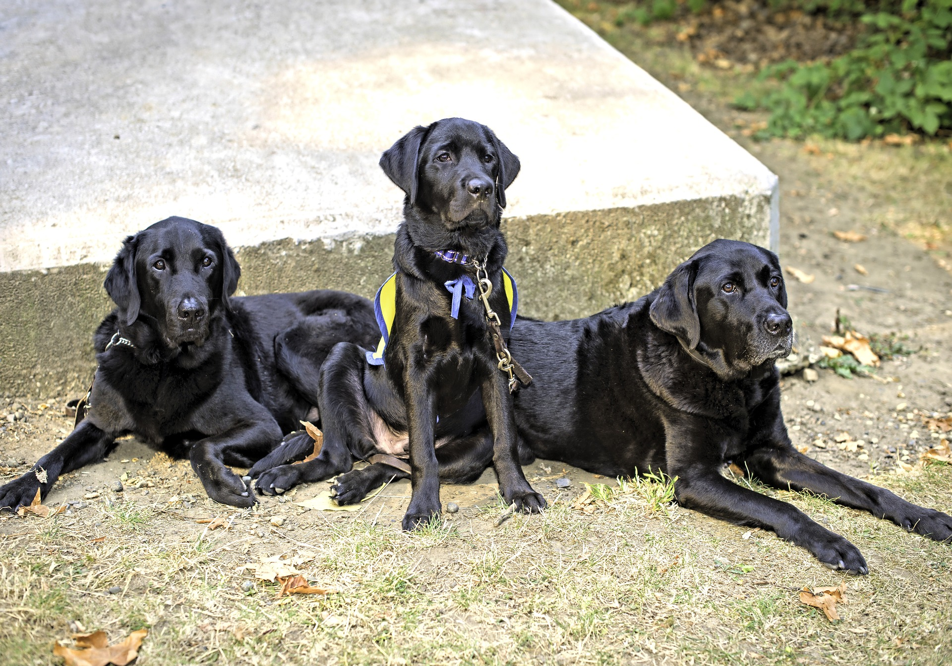 Three service dogs