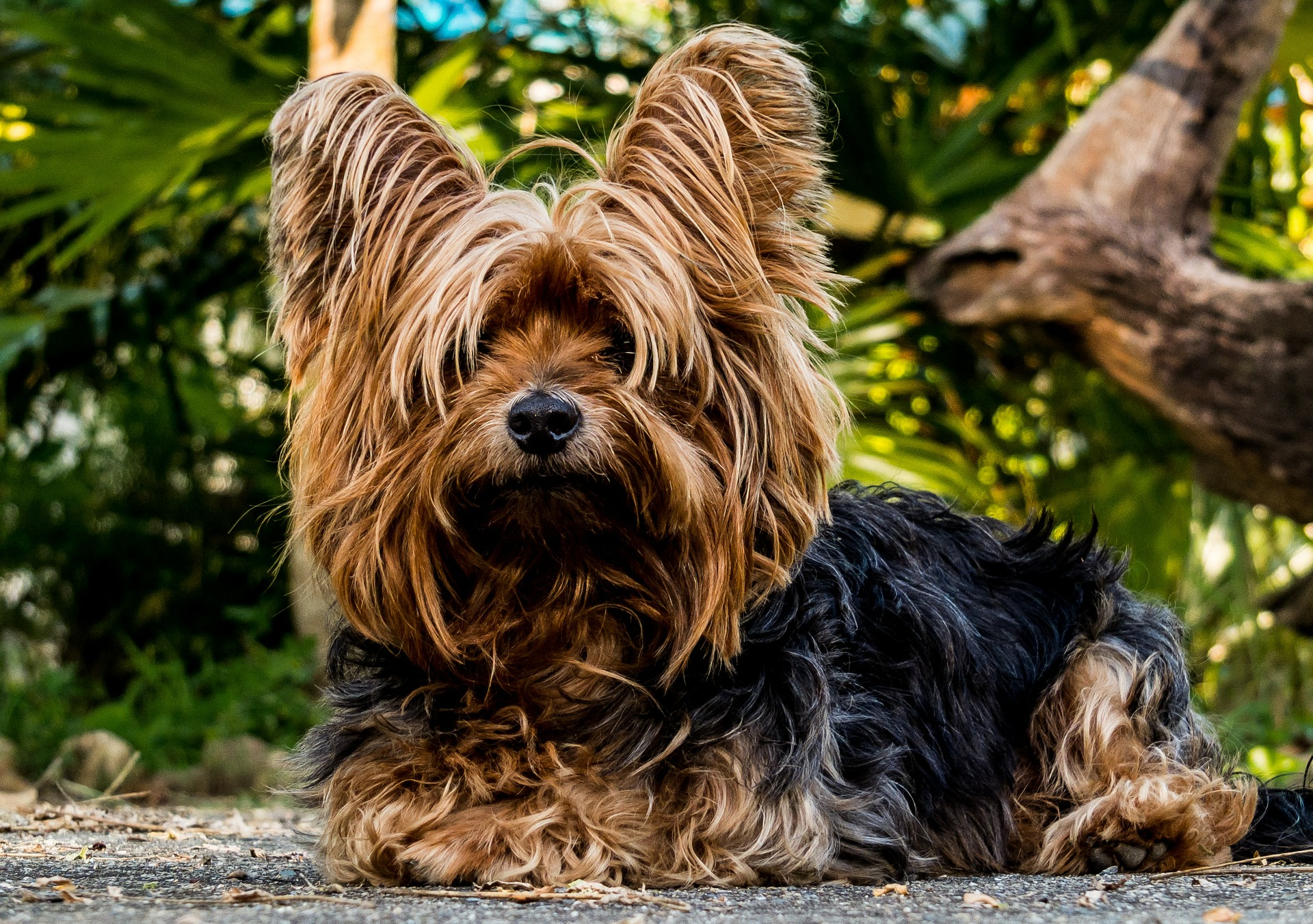 Outdoor Yorkie