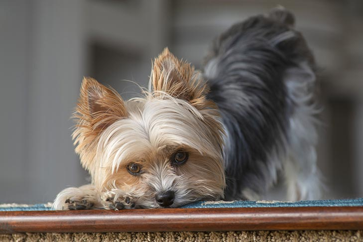 Bowing Yorkshire Terrier