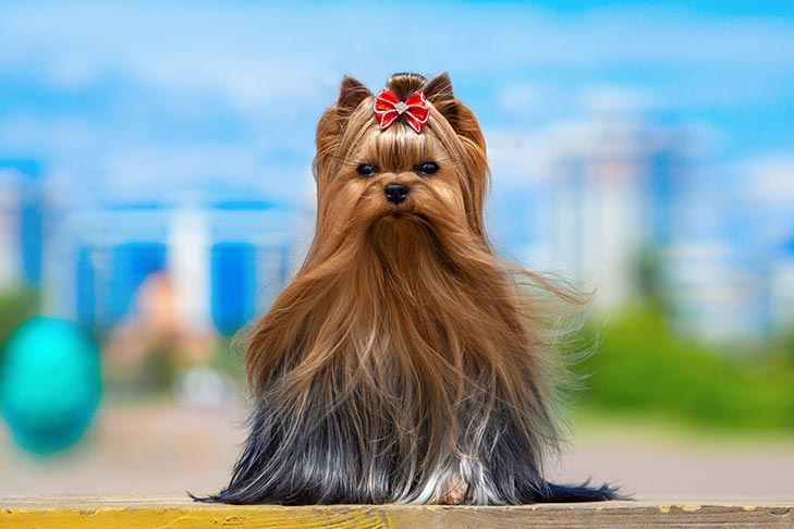Fancy Yorkshire Terrier